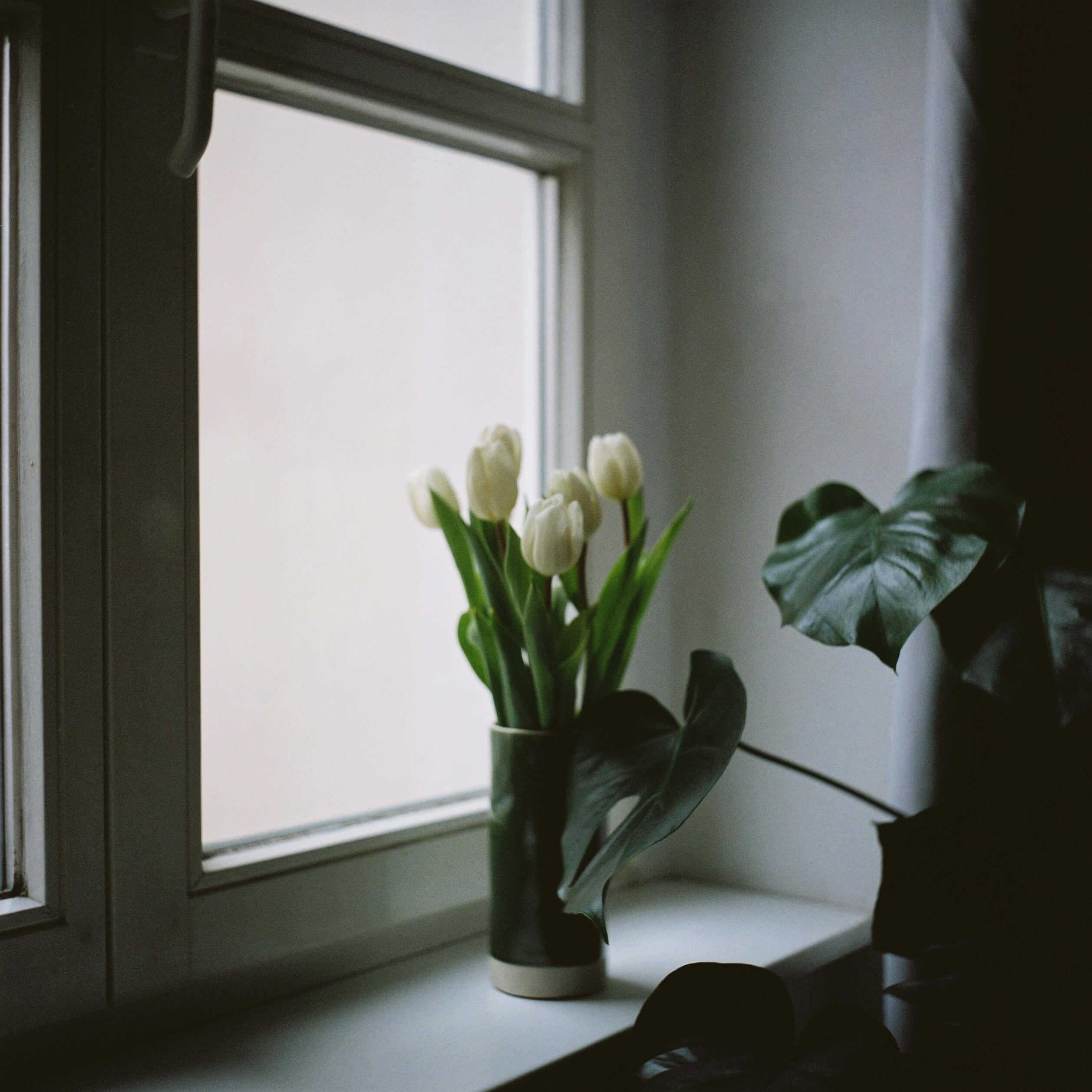 Eine grüne Vase mit weißen Tulpen auf einem weißen Fensterbrett. Vor dem Fensterbrett steht eine Monstera deliciosa. Die Stimmung ist ruhig.